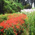 Ở Hàm Rồng, nhiều loài hoa được nhập về từ Pháp, Nhật