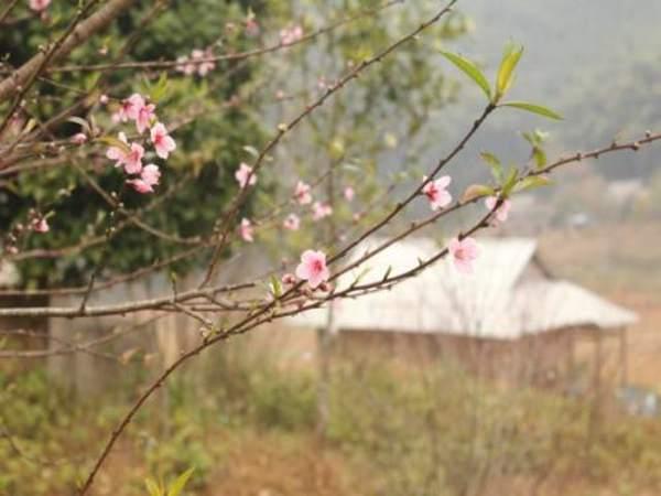 Nhờ khí hậu lạnh, hoa đào nơi đây nở rực rỡ từ tháng 10 năm trước đến tháng 4 năm sau.