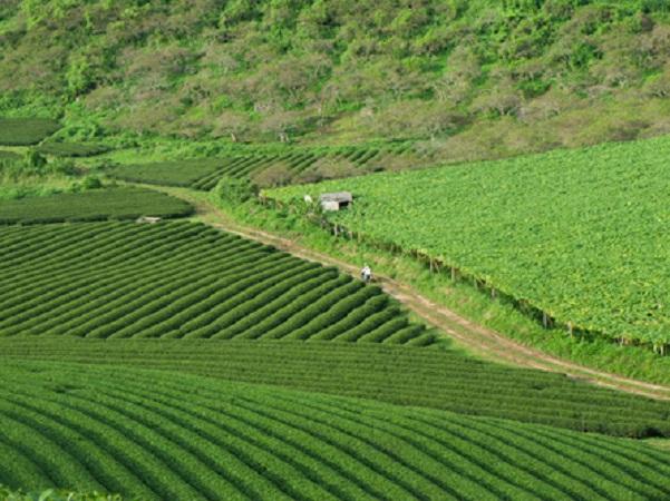 Cao nguyên Mộc Châu (Sơn La) cách Hà Nội khoảng 180 km về phía tây bắc