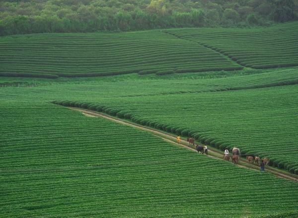 Những đồi chè xanh mơn mởn, rộng bát ngát khiến cao nguyên Mộc Châu trông như một viên ngọc xanh nằm trên cao nguyên tạo nên một bức tranh thiên nhiên vô cùng đẹp mắt...