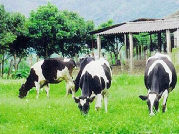 Sữa bò Mộc Châu ĐẶC SẢN MỘC CHÂU