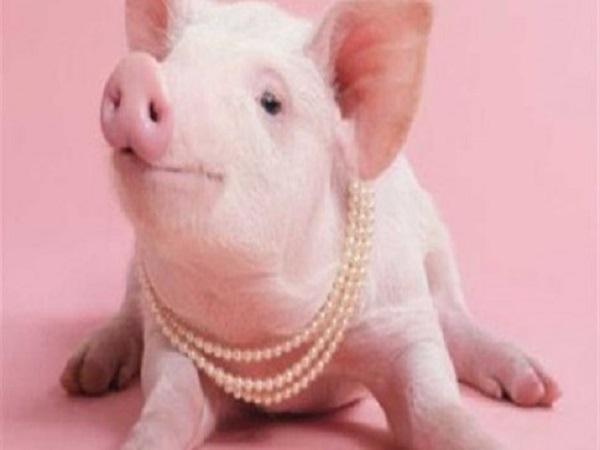 Tìm hiểu ý nghĩa của giấc mơ thấy con lợn