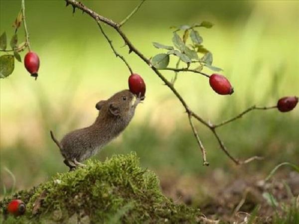 Giải mã giấc mơ con chuột điềm báo cho bạn điều gì?
