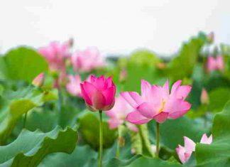 Nằm mơ thấy hoa sen có phải điềm báo may mắn?