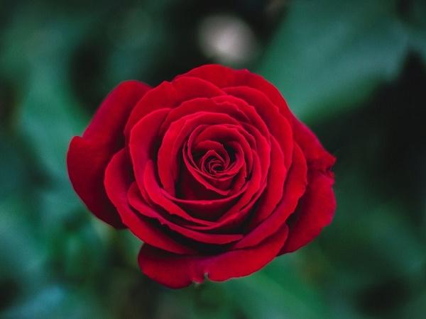 Giải mã giấc mơ thấy hoa hồng báo hiệu điềm gì?