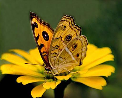 Đi tìm ý nghĩa giấc mơ thấy con bướm là điềm báo gì