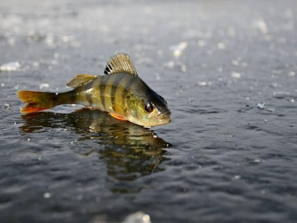 Mơ thấy cá rô là điềm gì, chơi con số nào chắc ăn nhất?