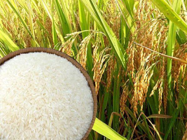mơ thấy lúa gạo