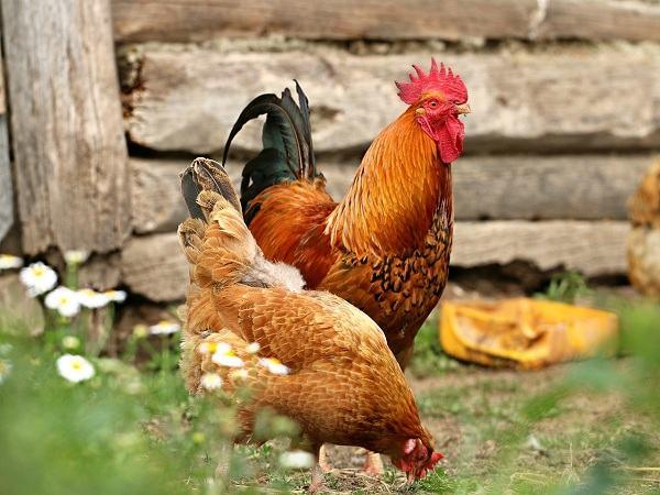 Nằm mơ thấy gà mái là điềm báo điều gì?