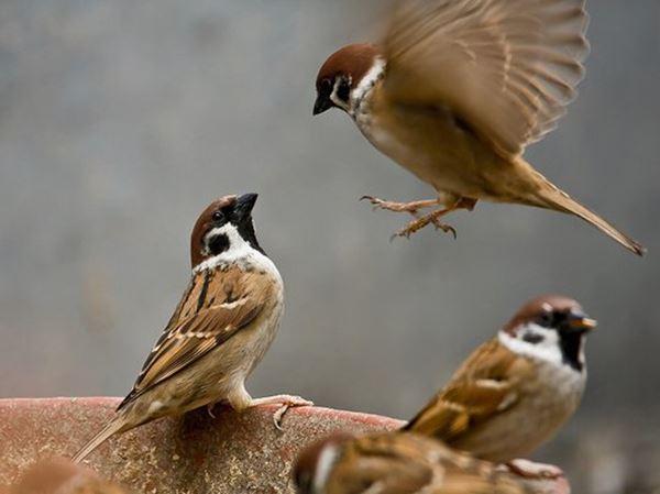 Mơ thấy chim sẻ đánh con gì may mắn, báo mộng điềm gì?