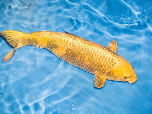 Giải mã ý nghĩa của giấc mơ thấy cá chép