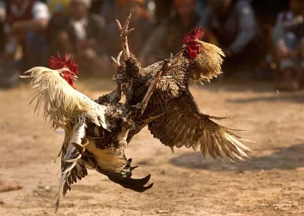 Nằm mơ thấy gà chọi là điềm báo gì? Đánh lô đề số mấy hôm nay