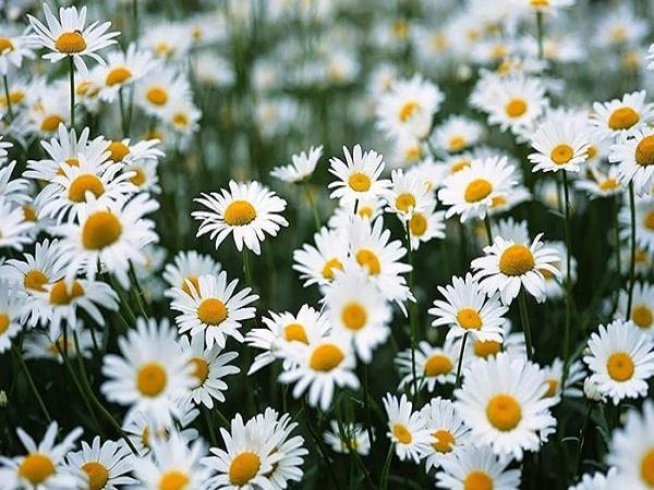 Nằm mơ thấy hoa cúc đánh con gì ăn chắc, có điềm báo gì